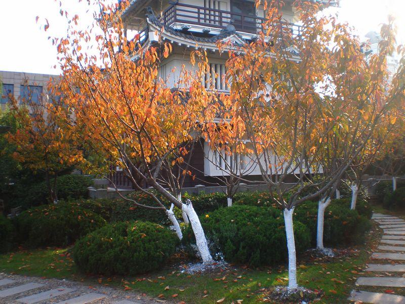 秋天,樱花树的叶子变成了这样