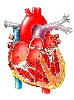 图2 心脏内部的结构
