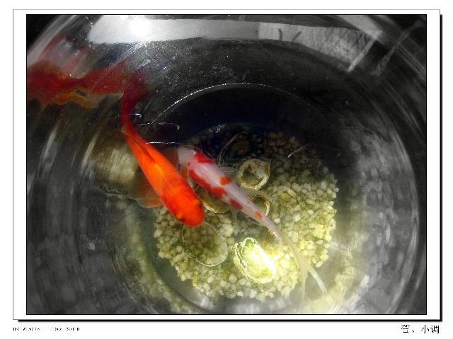 小红鲤鱼肚子大了