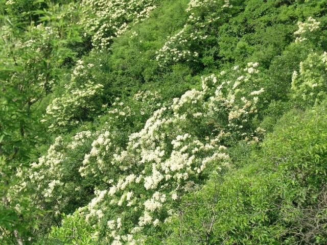 """...常见的灌木丁香它是高大的乔木素有\""""西海菩提树\""""之称是佛门..."""