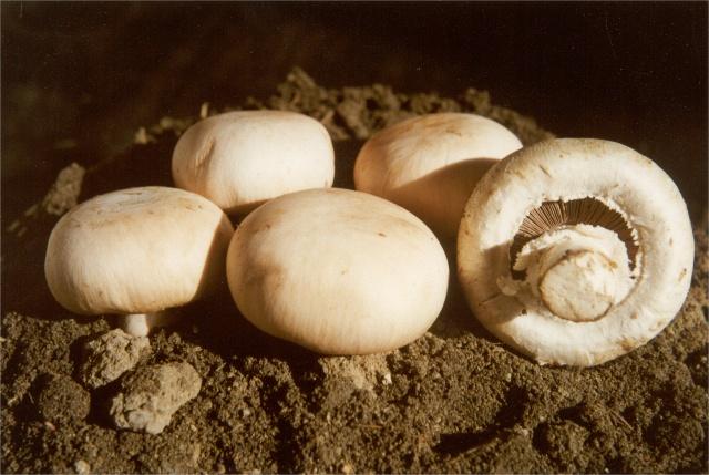 野生杨树菇有,有野生蘑菇,杨树蘑菇 图片 121k 640x429