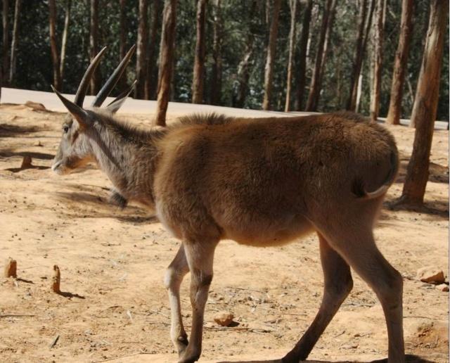 动物世界:弯角羚