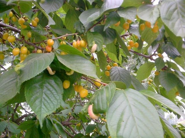 叶子上那东东有些诡异哈-樱花树和樱桃树是同一种东东吗图片